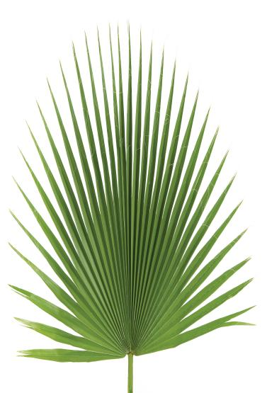 "Fan palm decor  30"" to 36"""
